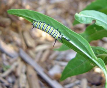 Hungry_monarch_caterpillar
